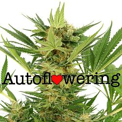 AK 47 Autoflowering Seeds