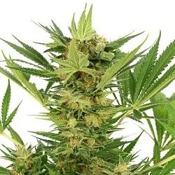 AK 47 Cannabis Seeds