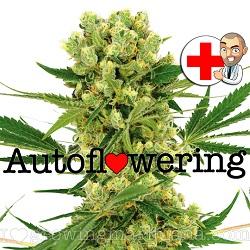 Amnesia Haze Autoflowering Seeds