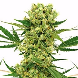 Amnesia Haze Cannabis Seeds