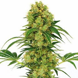 Big Bud Cannabis Seeds