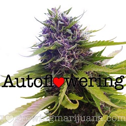 Blueberry Autoflowering Seeds