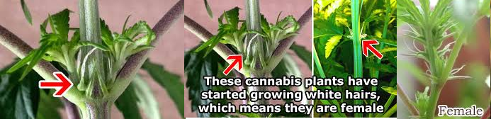 Early Signs Of A Female Cannabis Plant