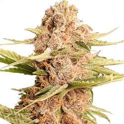 Girl Scout Cookies Cannabis Seeds