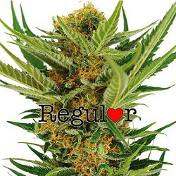 Jack Herer Regular Cannabis Seeds