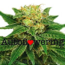 Northern Lights Autoflowering Seeds