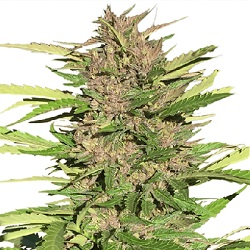 Pure Indica Cannabis Seeds
