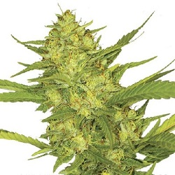 Sour Diesel Cannabis Seeds