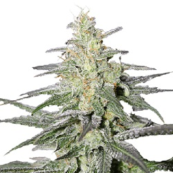 Super Silver Haze Cannabis Seeds