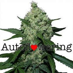 Super Skunk Autoflowering Seeds