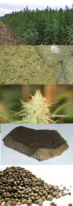 The Diversity Of Cannabis
