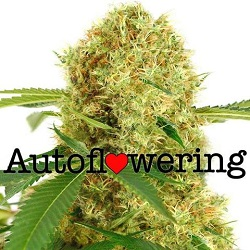 White Widow Autoflowering Seeds