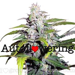 Lowryder Autoflowering Seeds