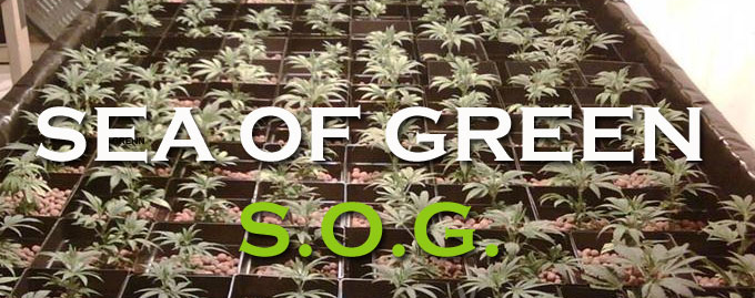 Sea Of Green (SOG) & Sea Of Green Growing Technique Explained | Cannabis Seeds UK